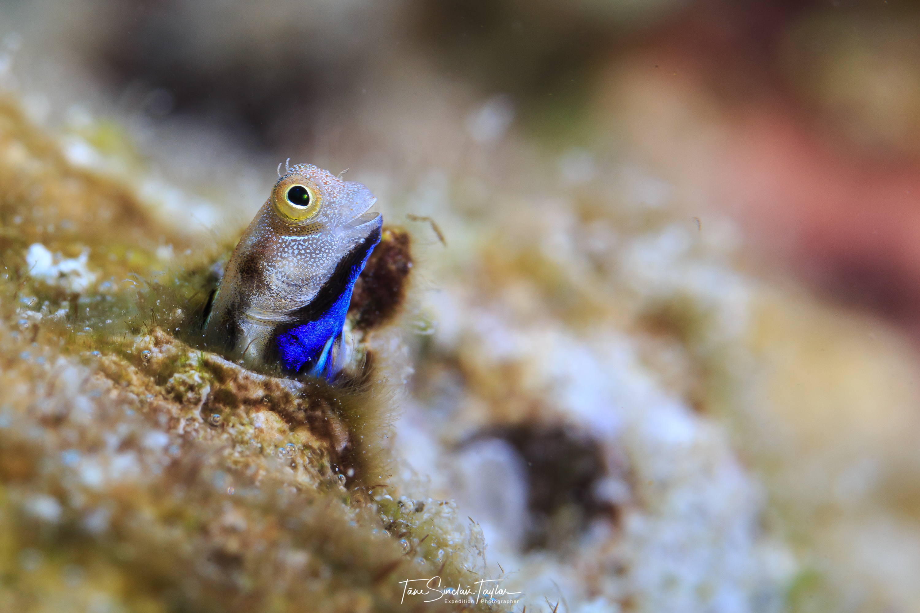 bluebelly bennie fish