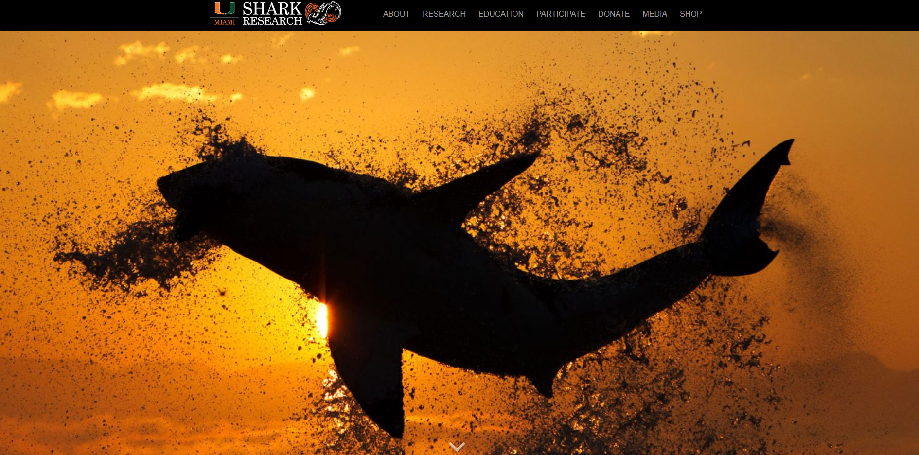 Screenshot of the University of Miami's Shark Research website with a large image of a shark swimming stretching across the page.