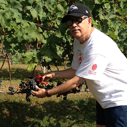Antonio Busalacchi checking grapes during harvest.