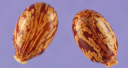 From Beans To Weapon The Discovery Of Ricin American Association For The Advancement Of Science