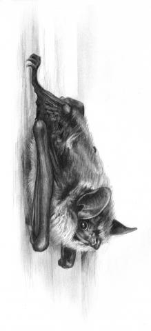 AAAS Mass Media Fellow Kelly Franklin drew this depiction of a bat.