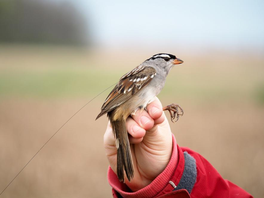 tagged sparrow