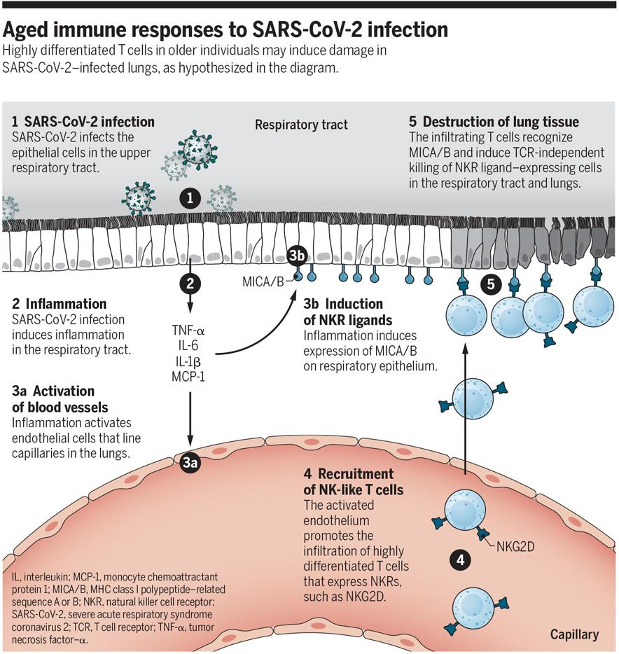 Science diagram of age-related inflammation in COVID-19