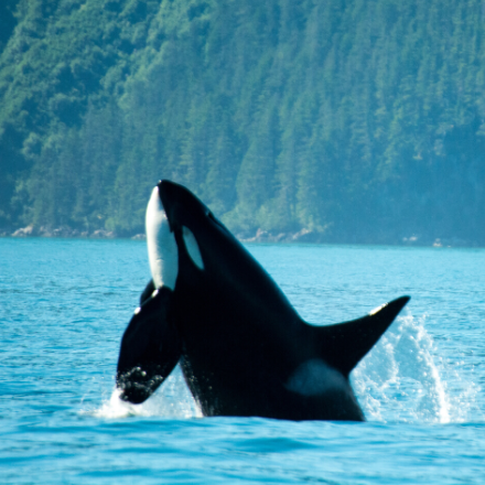Killer whale emerging from the water